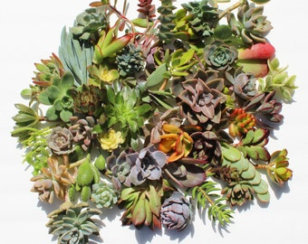 set of 50 succulent cuttings Succulent clippings succulents Succulent plants assorted succulent clippings succulent assortment diy succulent