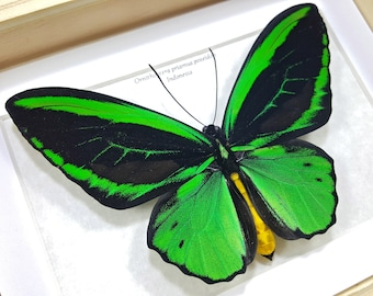 Framed Ornithoptera priamus poseidon Common Green Birdwing Butterfly Taxidermy A1/A1- #76