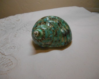 Shells - Jade Turbo Burgess Shell  - Polished - for hermit crabs