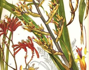 Vintage Botanical Print 1970  Art Wild Flowers Book PLATE 145 Yellow Burnt Orange Albany Kangaroo Paw Wild Orchid PlantsSeeds Petal Charts