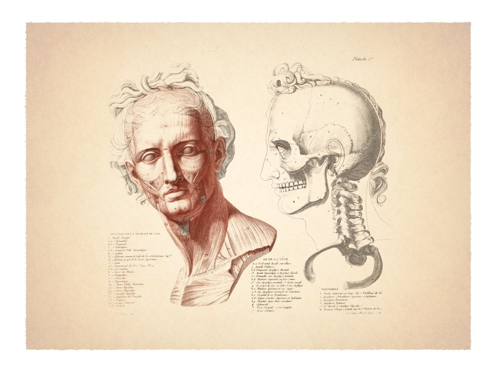 Vintage French Anatomical Chart of the Head and Skull