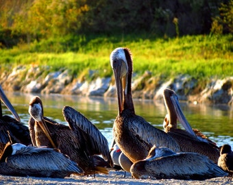 Brown Pelicans at Malibu Lagoon by Catherine Roché, California Sea Bird Photography, Malibu Wildlife Photography, Coastal Nature, Fine Art