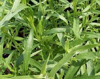 1,000 Russian Tarragon Seeds Herb Seeds