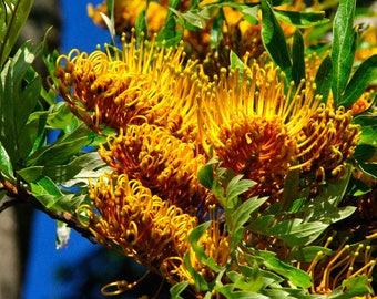 Silk Oak   Grevillea robusta   100 Fresh Seeds
