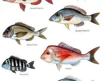 Sweetlip Emperor, Jolthead Porgy, Snapper, etc. Vintage 1984 Fish Book Plate