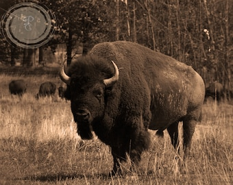 Old Buffalo, bison, Wind's Son in Sepia tones