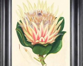 BOTANICAL PRINT ANDREWS 8x10 Botanical Art Print 2 Antique White Pink Lotus Water Lily Large Blooming Flower Lake Garden to Frame