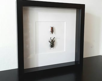 Real pinned jewel beetle and stagbeetle in frame curiosity insect beetle taxidermy