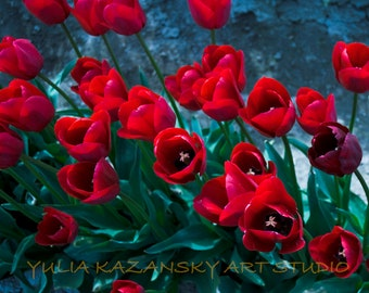 Instant digital download Red tulips fine art nature photography Spring flowers printable photography Tulip festival photo