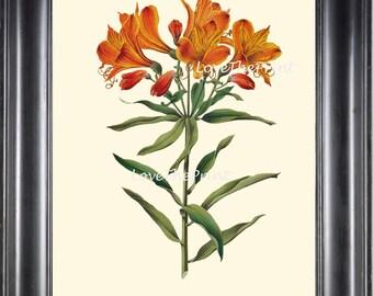 BOTANICAL PRINT WITTE  Botanical Art Print 23 Peruvian Lily Beautiful Orange Flower Spring Garden Summer Nature Wall Art