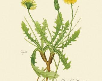 "Vintage Botanical Flower Catsear  Flatweed ""Hypochoeris Radicata"" Print 8x10 P179"