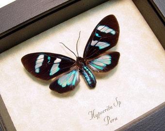 Real Framed Hypocrita Electric Blue Day Flying Moth Shadowbox Display 8177