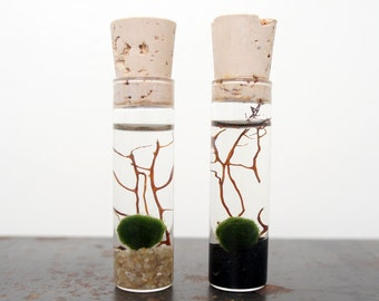 2 Mini Marimo Moss Ball Terrariums