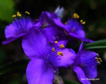 Spiderwort Wildflower, Wall Art, Nature Photography Print, Stock Photo, Digital Image, Summer, Purple, Flowers, Digital Download