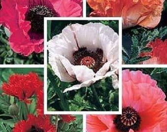 1000 MIXED Colors ORIENTAL POPPY Papaver Orientale Flower Seeds