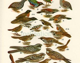 Birds 1931 Australian Book Print natural science plate VII, bird prints