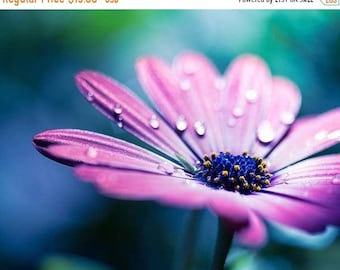 ON SALE floral photography fine art botanical photography 8x10 8x12 pink purple daisy flower nature photography teal wall art bedroom dorm d