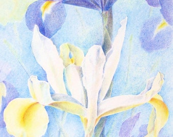 Irises - an original drawing