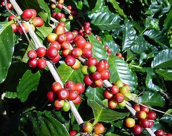 50 coffee seeds from Hilo Hawaii, coffea arabica, home grown in our yard