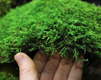 Carpet sheet moss-Mood Moss-Pillow Moss-Preserved Moss Samples-You choose Moss type-Pillow-Mood Moss-Fern Moss or Carpet Moss- Quart bag