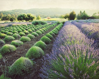 "Lavender field print - purple green wall art - french country - rustic farmhouse - flower garden - landscape photograph  ""July Harvest"""