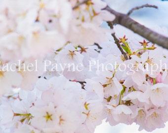 Cherry Blossoms - Original Photograph