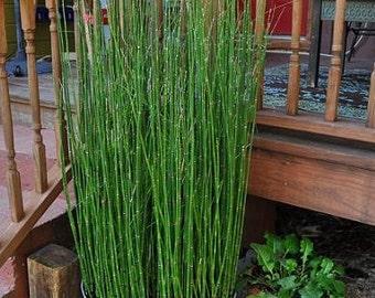15 x Horsetail Reed Bamboo Looking Zen Garden & Pond Plants
