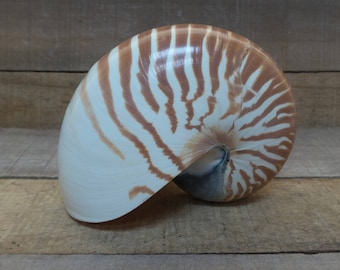 5'' - 6'' Chambered Nautilus, 1 piece, Center Piece, Philippines