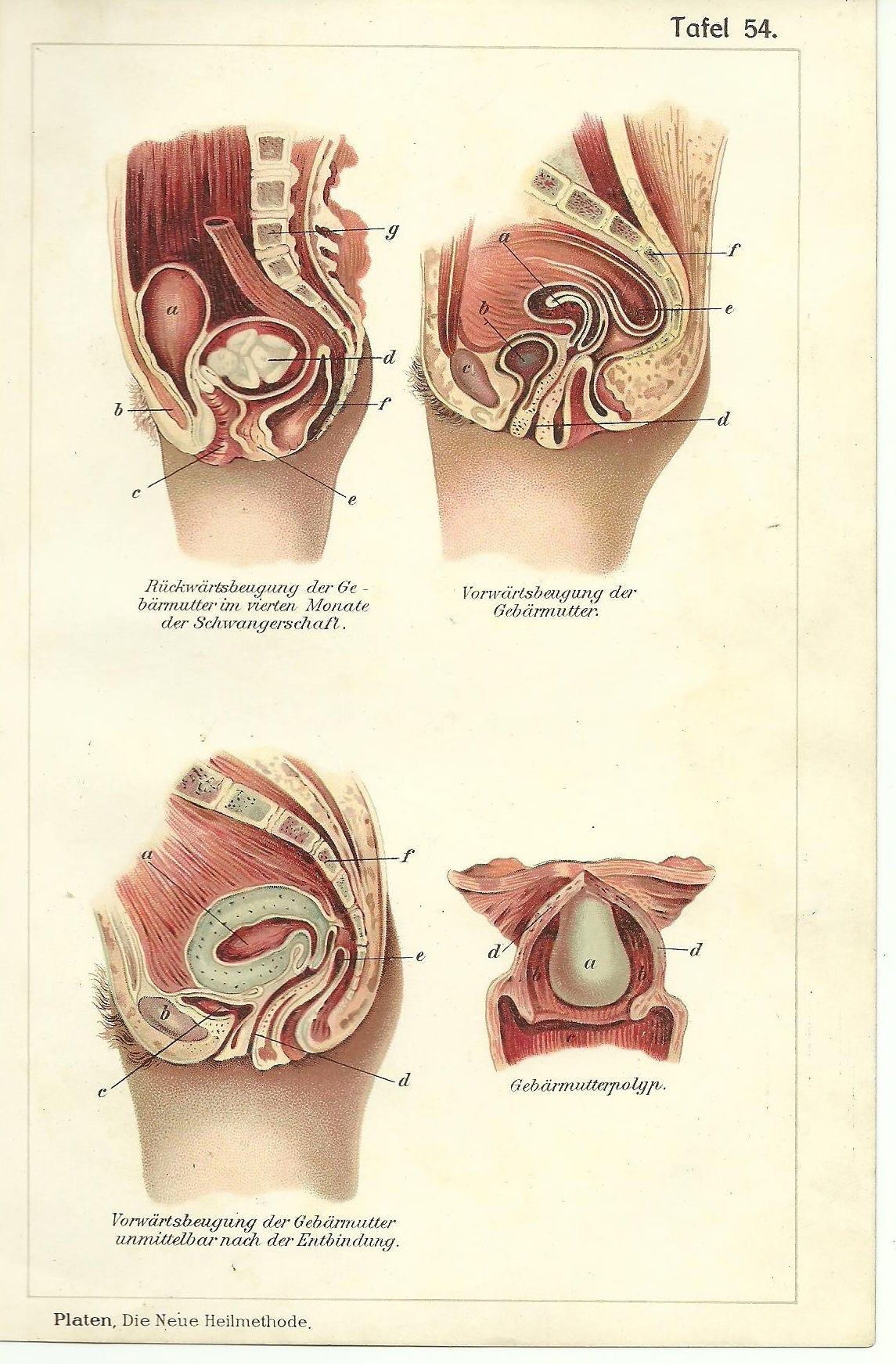 Ausgezeichnet Gebärmutter Anatomie Während Der Schwangerschaft ...