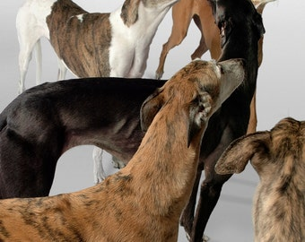 Fine Art Greyhound Photograph