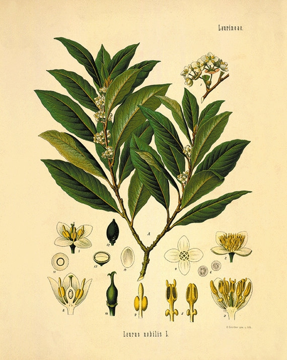 Bay leaf art antique botanical art prints Vintage herbs art