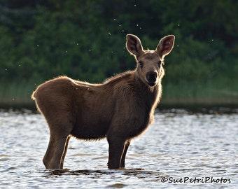 Baby Moose, Baby Animal Photos, wildlife photography, moose calf, nature photography, baby animals, adorable photos