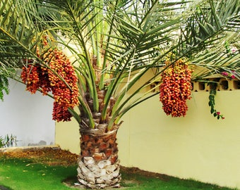10 Date Palm (Phoenix Dactylifera) Tree Seeds, Exotic Tropical Date Palm Fruit Tree Fresh Live Seeds