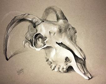 Goat Skull Drawing
