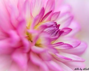 Dahlia photography,romantic dahlia flower print,pink shabby chic art,dahlia in bloom,pink nature photo,dahlia blossoms,dreamy flower print.