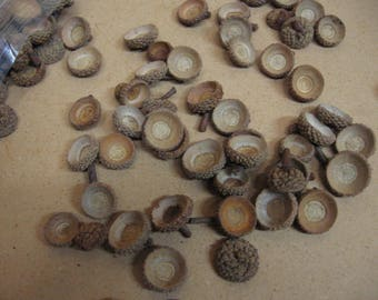 250 single white oak acorn caps, ready to use.