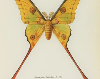 Large Vintage Moth Print, Tailed Comet Moth 1960s Colour Print, Wall Art