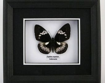 Euploea eupator (Sulawesi Pied Crow) Taxidermy Butterfly in Matted Shadow Box Frame - Wall Decoration
