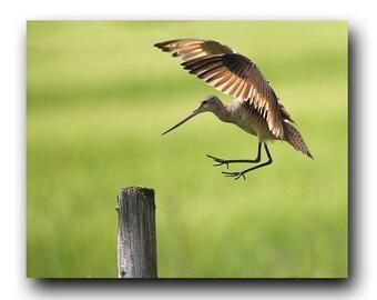 Bird in Flight, Bird Photo, Wildlife Photo, Wildlife Print, Nature Print, Art Print, Bird Picture, Bird Photography, Bird Art, Shorebird