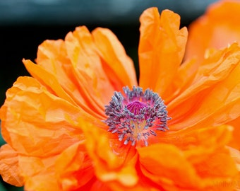 Orange Poppy Print, Bright Flower Photo, Poppies Art Photograph, Botanical Macro, Dining Room or Bedroom Wall Decor