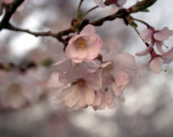 Spring Blossoms 8x10 Photograph