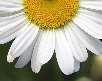Flower Photography, Daisy Print, Fine Art Photo, 8x8 Print, Floral Photo, White and Yellow, Daisy Photo, Wall Decor