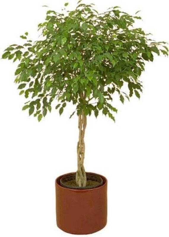 30 FICUS-Baum Bodhi-Baum / Heilige feige / Bo-Baum / Pipal