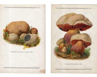 c. 1921 - 2x POISONOUS MUSHROOM LITHOGRAPHS - original antique print - fungi toadstool mycology bolete shrooms - bolletus pachypus mushrooms