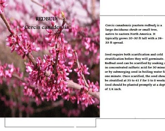 Redbud Tree seeds - 50 Redbud seeds, Wild Harvested