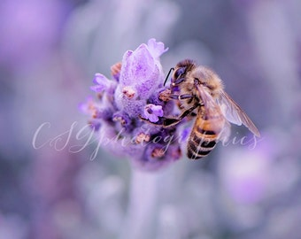 lavendar - lavander bee - bee - Flower Bee Lavender Fine Art Photographic Print - Lavender Bee