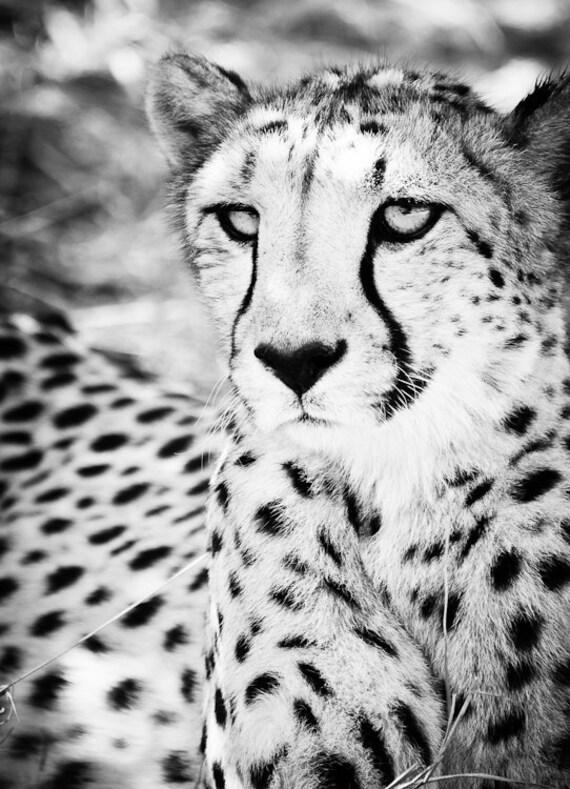 cheetah fine art photography wildlife wall art