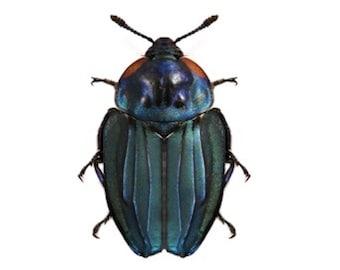 Carrion Burying Beetle Necrophila renatae Real Insect Metallic Blue Black