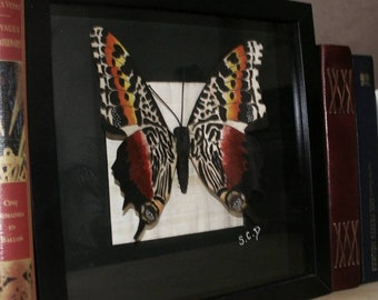 Butterfly (shadowbox, curio cabinet, vanity)