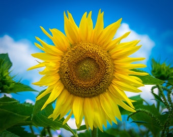 Sunflower from Gilliam, Louisiana